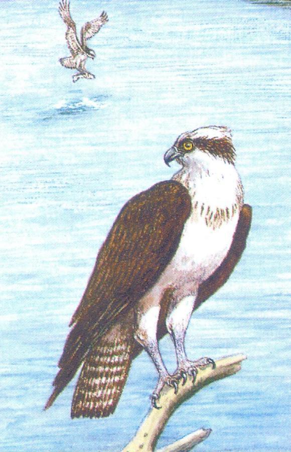 Rectangular Fridge Magnet - Osprey