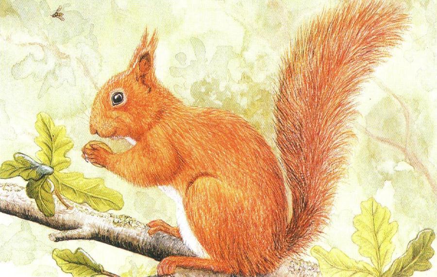 Rectangular Fridge Magnet - Red Squirrel