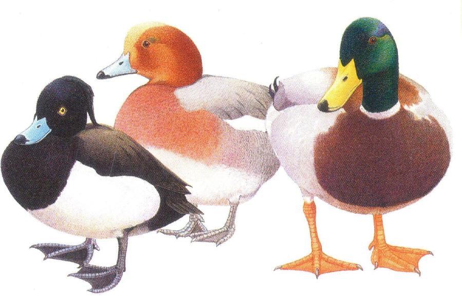 Rectangular Fridge Magnet - Ducks