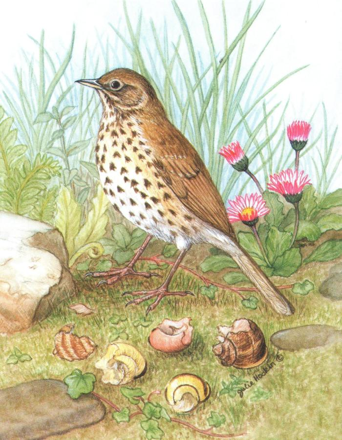 Pack of 5 Notecards - Song Thrush