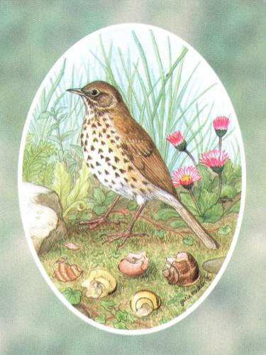 Folded Gift Tag Song Thrush