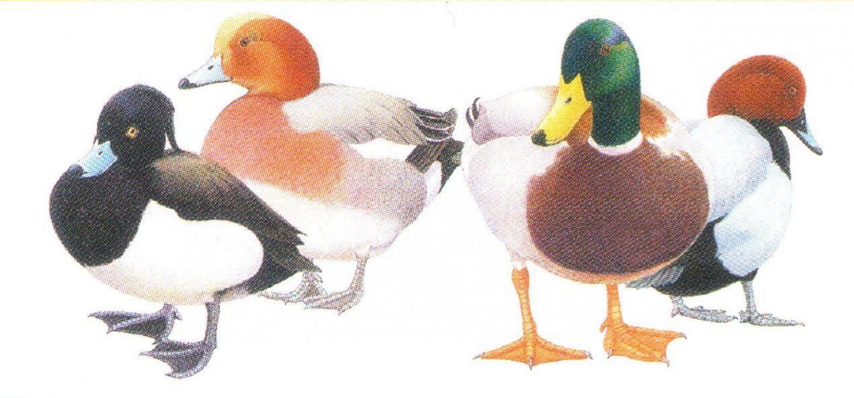 Magnetic Letter Opener - Ducks