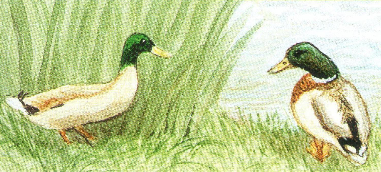 Magnetic Letter Opener - Mallard Ducks