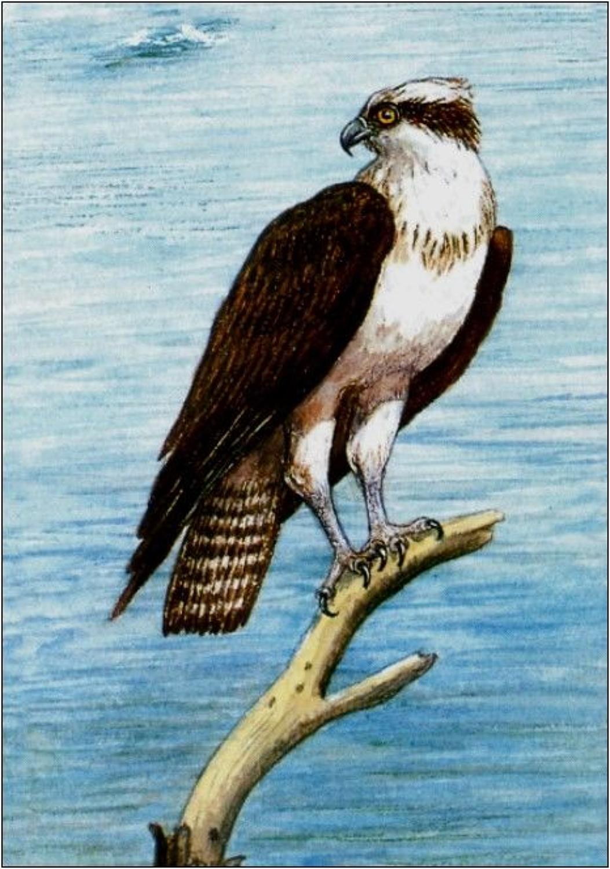 Pen - Osprey
