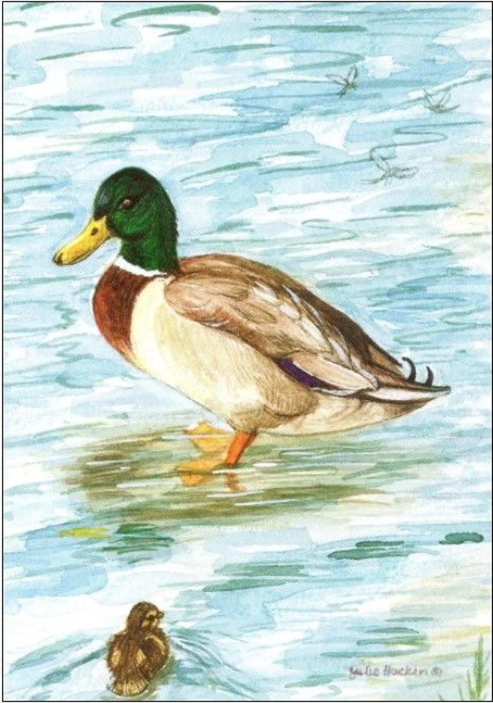 Pen - Mallard Ducks
