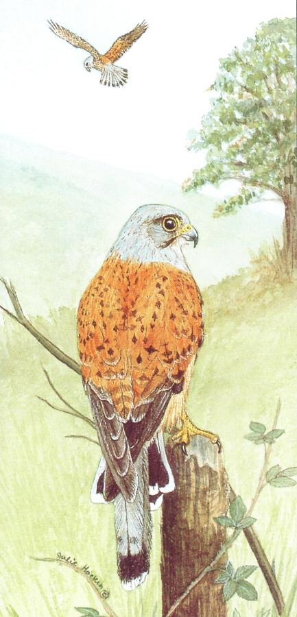 Tall Card - Kestrel