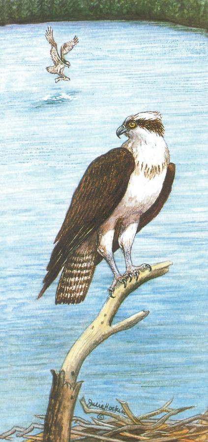 Tall Card - Osprey