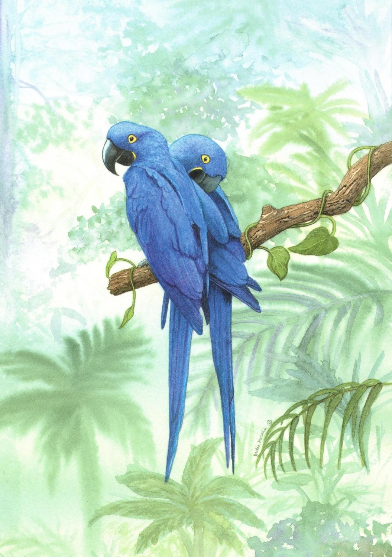 Card - Hyacinth Macaw