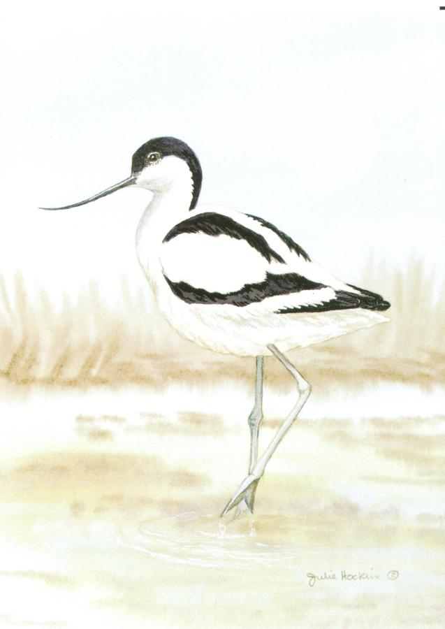 A6 Card - Avocet