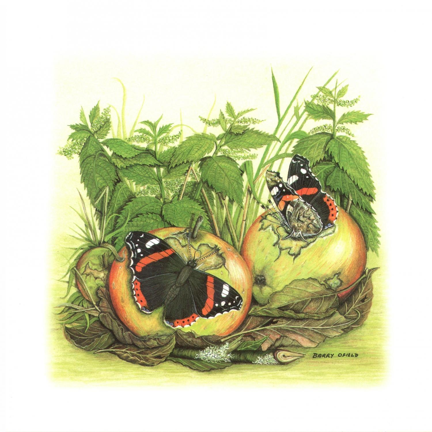 Square Card - Red Admiral