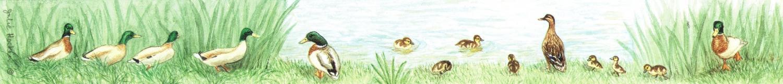 Ruler - Ducks