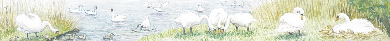 Ruler - Swans
